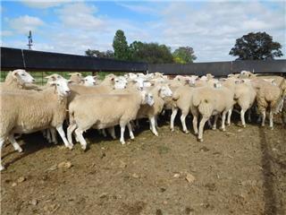 64 Future Breeder Ewe Lambs