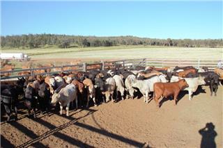 83 Feeder Heifers
