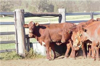 97 Feeder Heifers