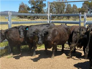 9 NSM Cows & 9 Calves