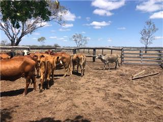 35 Station Mated Cows & 60 Calves