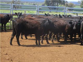 50 Weaned Steers