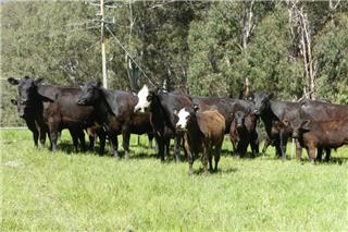 9 Station Mated Cows & 9 Calves