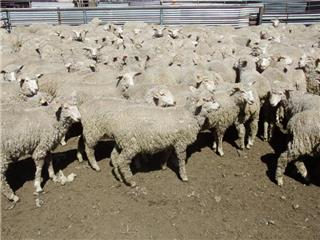 360 Store Wether Lambs