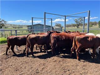 23 Yearling Steers