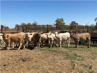 19 Feeder Steers