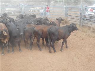 40 NSM Heifers